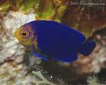 Cherubfish Centropyge argi