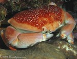 Batwing Coral Crab Carpilius corallinus