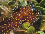 Leopard Flatworm Pseudoceros pardalis