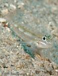 Bridled Goby Coryphopterus glaucofraenum