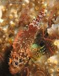 Reef Scorpionfish Scorpaenodes caribbaeus