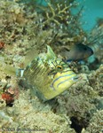 Queen Triggerfish, Intermediate