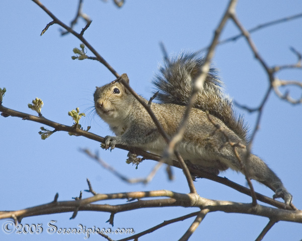 Mr. Squirrel stalking the