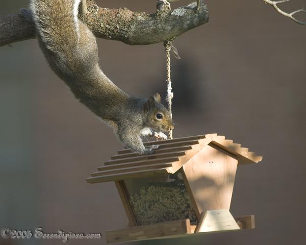 Squirrel Acrobatics