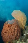 Splooging Barrell Sponge