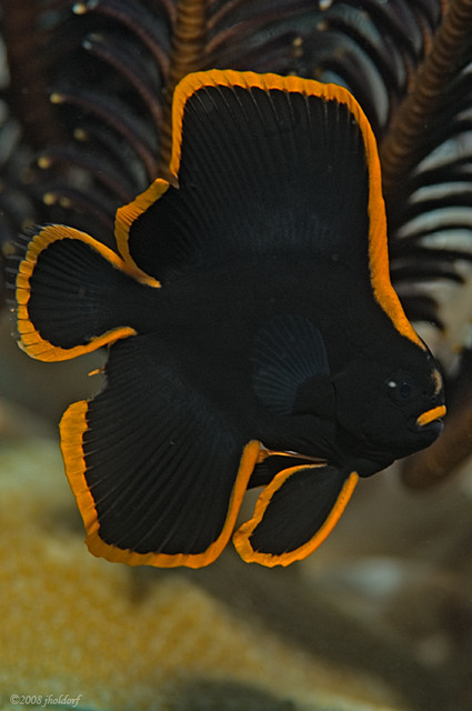 Pinnate Batfish Info Very Juvenile Pinnate Batfish