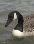 Canada Goose at