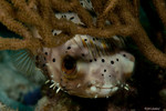 Balloonfish Diodon holocanthus