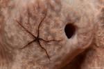 Sponge Brittle Star, Juvenile Ophiothrix suensonii