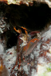 Red Porcelain Crab, I think