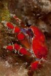 Southern Teardrop Crab Pelia rotunda