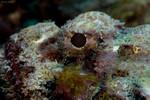 Spotted Scorpionfish Closeup Scorpaena plumieri