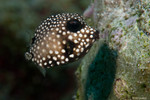Smooth Trunkfish, young