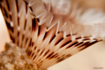 Brown Fanworm