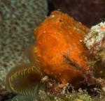 Longlure Frogfish Antennarius multiocellatus