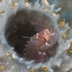 Ringed Blenny Starksia hassi
