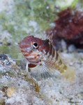 Saddled Blenny