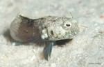 Sailfin Blenny, male
