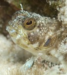 Sailfin Blenny, female