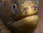 Goldentail Eel