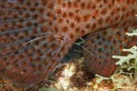 Pederson Cleaner Shrimp (Periclimenes pedersoni) on a Graysby's tail (Cephalopholis cruentatus)