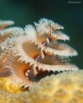 Christmas Tree Worm Spirobranchus giganteus