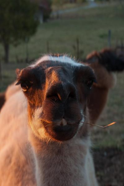 B&B funny llama