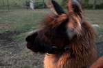 B&B Thoughtful Llama