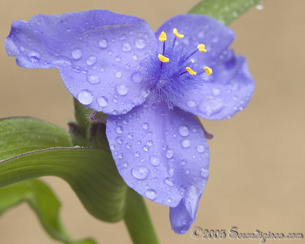 Spiderwort