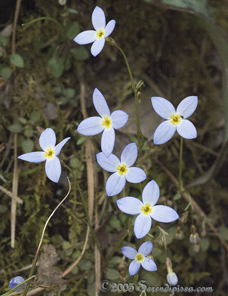 Bluets