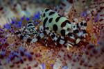 Coleman Shrimp Periclimenes colemani