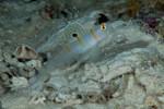Randall's Shrimp Goby w/commensal shrimp