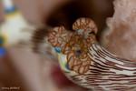 Nembrotha lineolata (nudibranch/seaslug)gills
