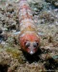 Red Lizardfish Synodus synodus