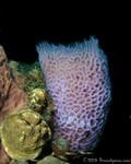 Azure Vase Sponge Callyspongia plicifera