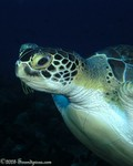 Green Turtle Chelonia myda